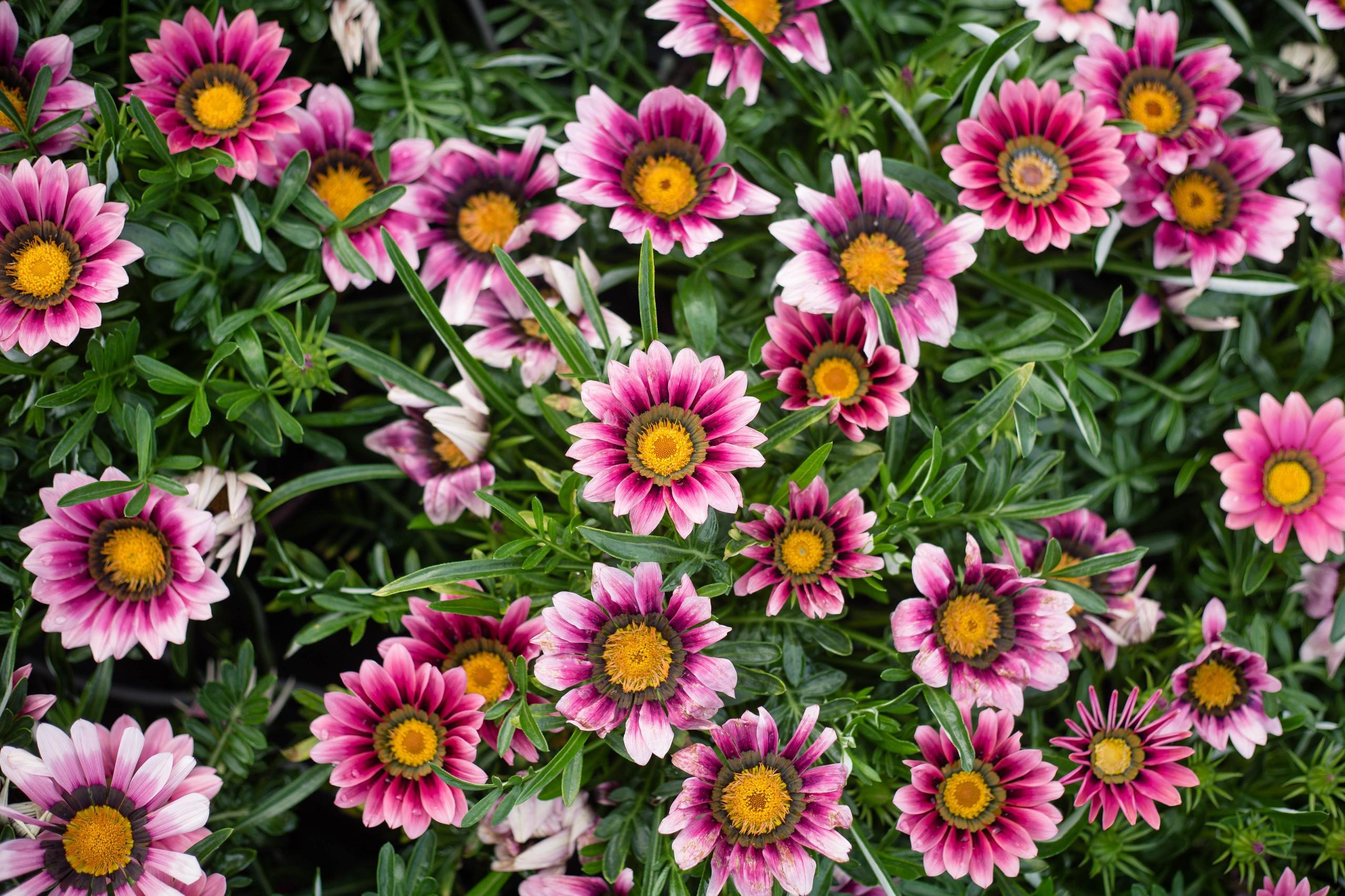 Gazania- New Day Pink Shades- 2 Pack - Burr Oak Gardens, LLC